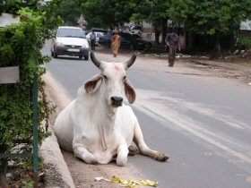 Cow resting in the center of the road – next to the median